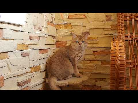 Download British Shorthair Golden Color MP3, MKV, MP4 - Youtube to MP3