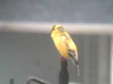American Goldfinch Song