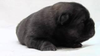 かわいいチャウチャウの子犬が誕生しました! ブリーダー直販にて、健康...