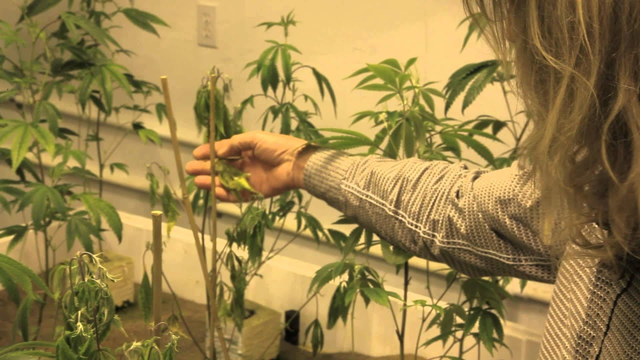 Grow Cannabis Plants Dying Before Our Eyes By Jorge