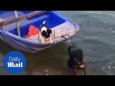 Lisa Berigan - LISA'S ANIMAL TALES: HERO DOG RESCUES PUPPY ON BOAT (Video)