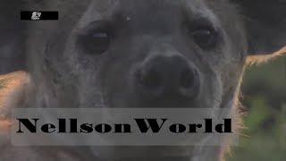 Мир Диких Животных-  Гиена Царица Хищников