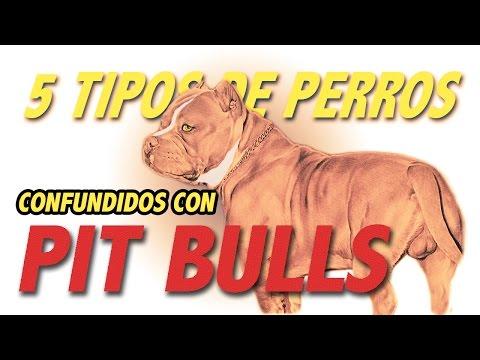 Las 5 razas de perros confundidas con Pit Bulls
