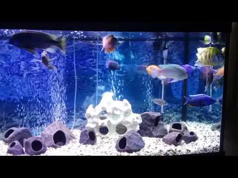 75 gallon African Cichlid Aquarium. Peacocks, Haps, and Mbuna Tropical Freshwater Fish Tank.