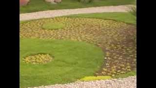 видео Мшанка шиловидная: как вырастить газон из ирландского мха