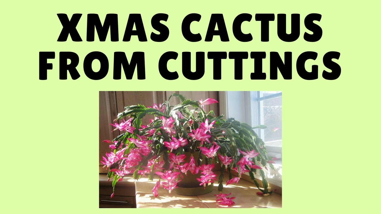 How to Grow Christmas Cactus From Cuttings - YouTube
