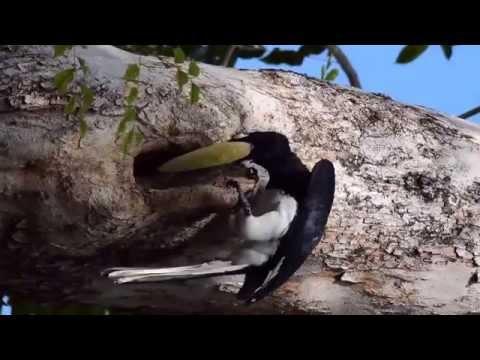 Oriental Pied Hornbill 1
