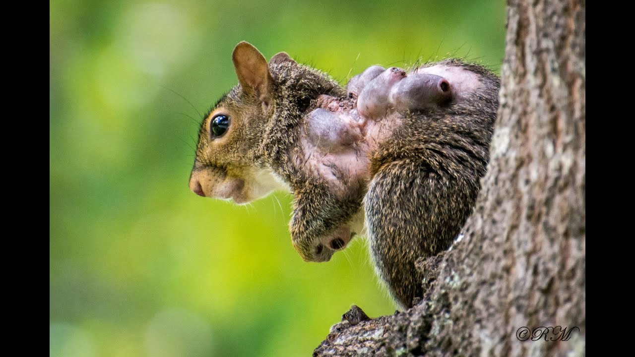 squirrel with warbles lumps and bumps from bot flies or wolves youtube