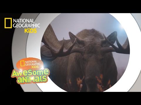 Moose Mayhem | Awesome Animals
