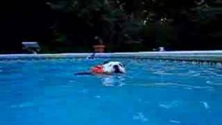 English Bulldog Swimming