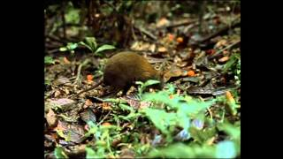 La rata almizclera marsupial