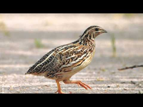 Common Quail Sound