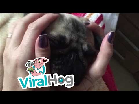 Pug Massage