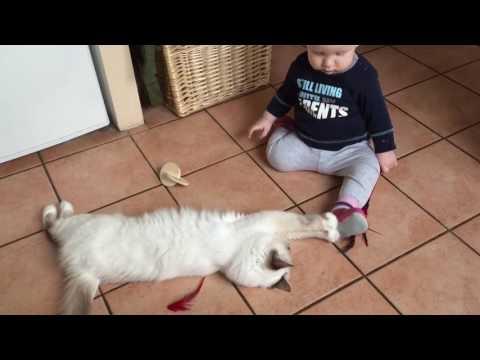 baby and saint birman cat playing