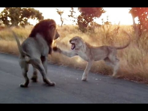 You Don't Mess With An Angry Lioness! - Latest Sightings
