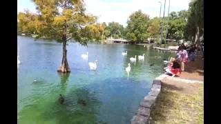 № 1459 США БЕЛЫЕ ЛЕБЕДИ  Lake Eola Orlando Fl  30 окт 2011 Америка