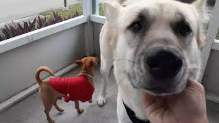 Anatolian Shepherd's are the Best Family Dogs  to Own