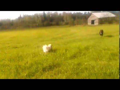 Tibetan Spaniel running free