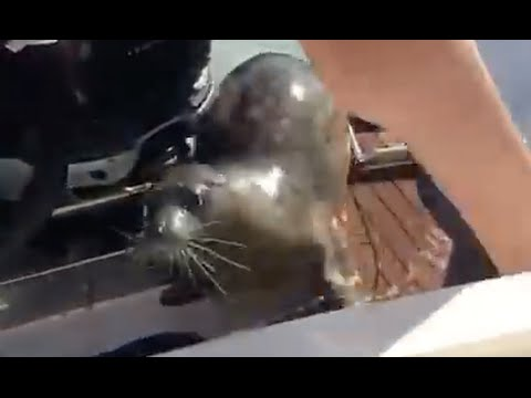 Thumbnail: Seal Scrambles Onto Boat To Avoid Orcas On The Hunt (full version)