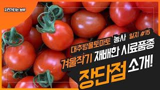 현대농장 대추방울 토마토 농사일지 #15 겨울작기 재배…