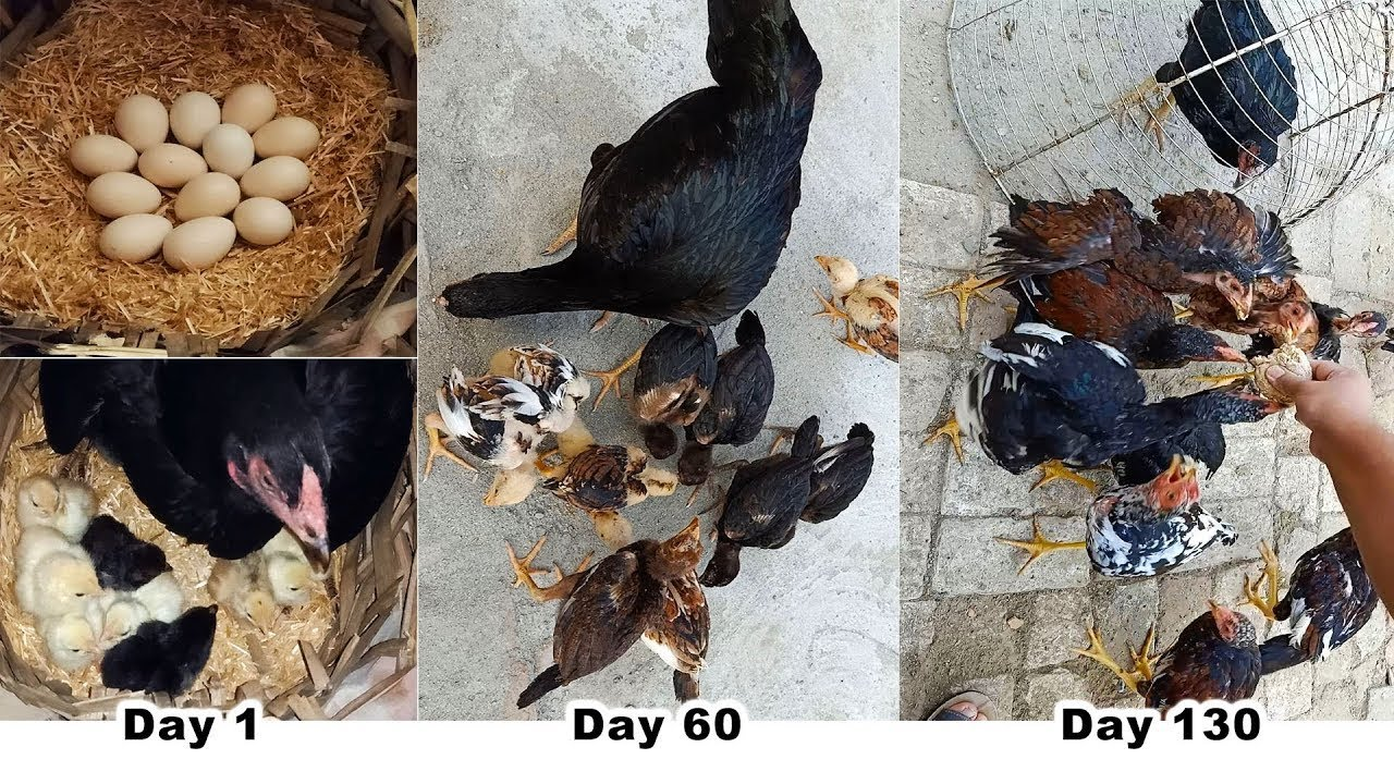 """Hen Harvesting Eggs to Chicks new """"BORN"""" Roosters and Hens Small Birds / part 2 Tension Free World"""