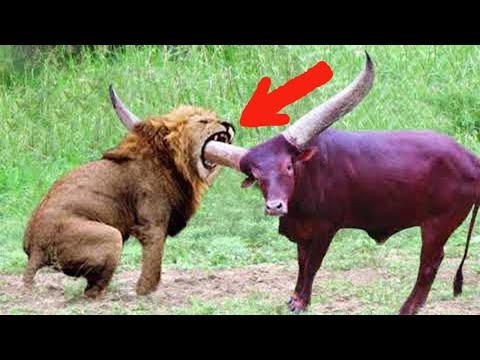 Giraffe || Lion attack giraffe || giraffe vs lion|Hayvonlar jangi