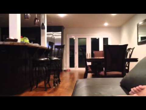 Cat playing fetch. Mongo the Manx cat