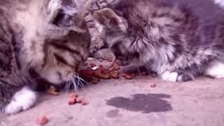 Маленькие и голодные котята напали на еду...