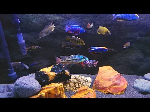 Mixed African Cichlids Aquarium  HD