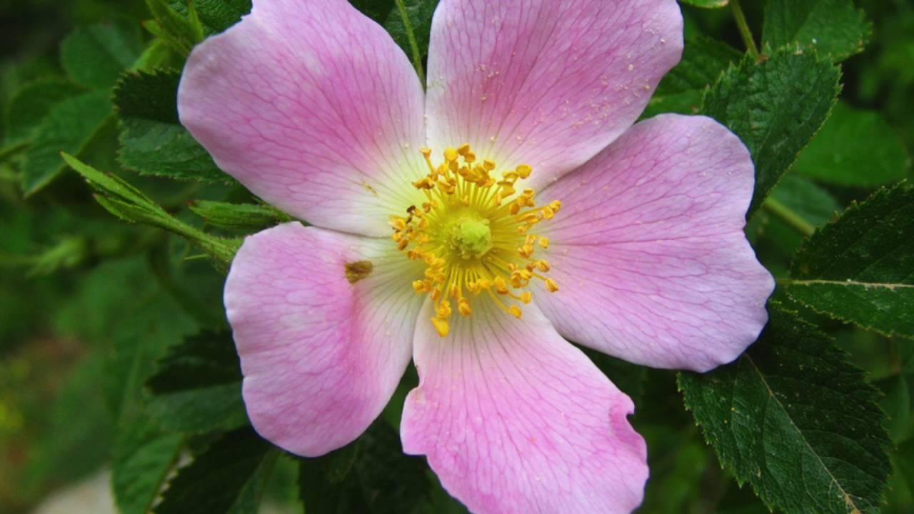 La flor de Bach Rosa Silvestre - Wild rose