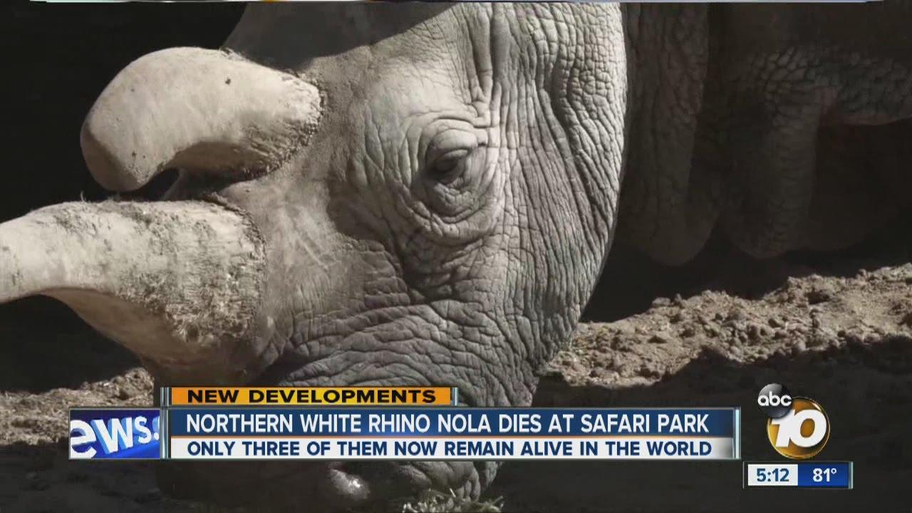Northern white rhino Nola dies at Safari Park