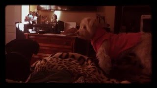 Epic Dog Battle - Dachshund vs. Maltipoo