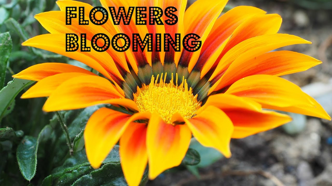 Colorful flowers blooming time lapse a variety of colorful colorful flowers blooming time lapse a variety of colorful beautiful flowers blooming izmirmasajfo