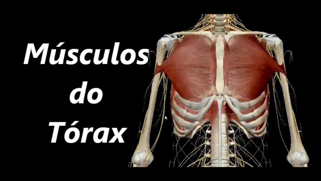 Anatomia dos Músculos do Tórax em 3D - YouTube