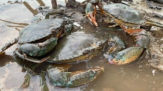 GIANT MUD CRAB Catching | Catching Alimango in the Mangroves | Find Giant Mud Crab In Secret Hole