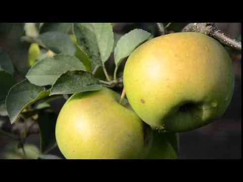 Яблоня Сорта Уход, выращивание Описание Зимние Летние