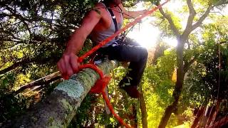 Just another day at work for an arborist climber