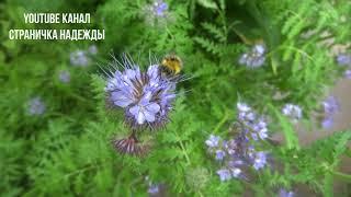 Шмель на Фацелии // Bumblebee on Phacelia