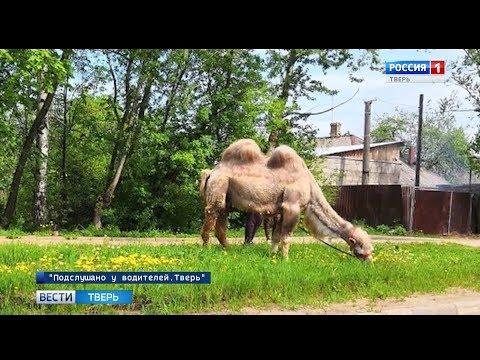 По улицам Твери гулял верблюд Василиса
