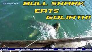 Huge Goliath Grouper Eaten by Massive Shark!