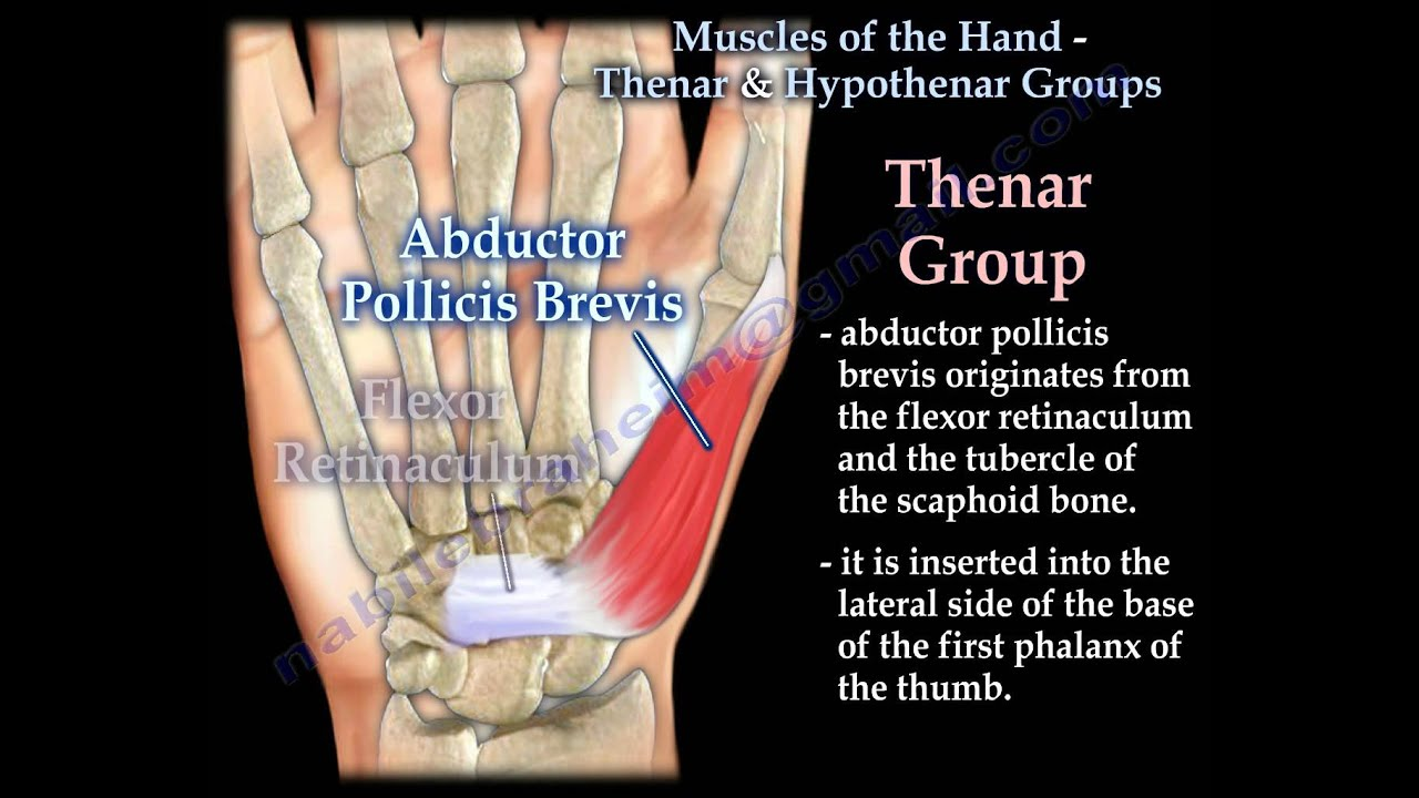 Muscles Of The Hand Thenar & Hypothenar Groups - Everything You Need ...