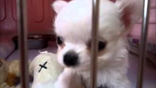 ももちゃん子犬の兄妹喧嘩??? 6月10日撮影 http://symphony.chu.jp/
