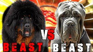 Tibetan Mastiff vs Neapolitan Mastiff | Neapolitan Mastiff vs Tibetan Mastiff | Billa Boyka |