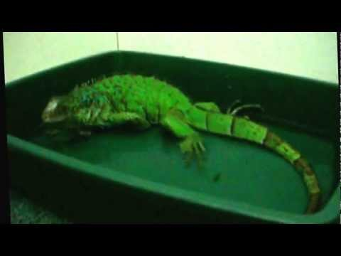 Iguana Explosive Fart! FUNNY!!!
