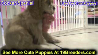 Cocker Spaniel, Puppies, For, Sale, In, Allegheny, Pennsylvania, Pa, Bucks, Chester, County, Berks,