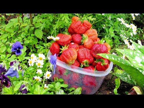 Гниют ягоды клубники. Что делать?