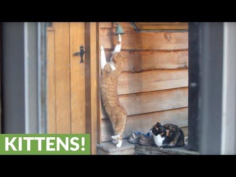 Polite cat rings doorbell to be fed