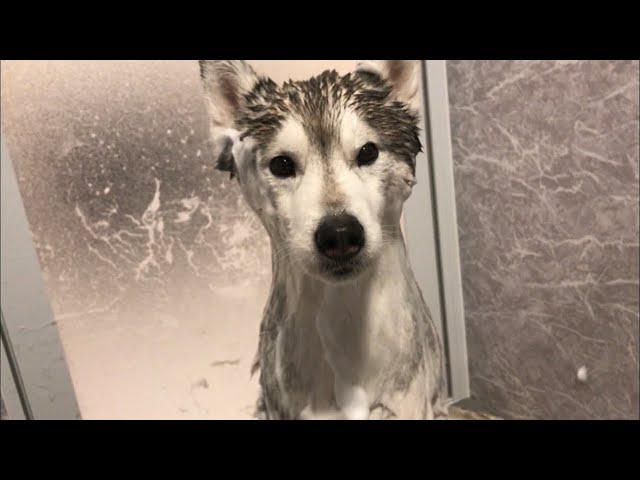 お風呂に入ると驚くほど細くなるシベリアンハスキー