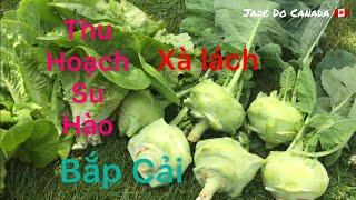 🇨🇦 Harvesting Kohlrabi, Cabbage & Lettuce // Thu Hoạch Bắp Cải, Su Hào,