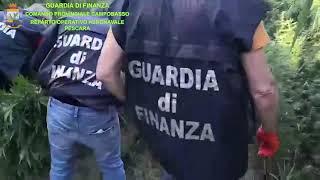Maxi sequestro di quasi 4mila piante di marijuana a Campomarino